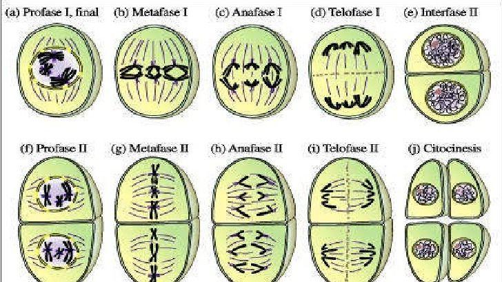 Meiosis en una célula vegetal