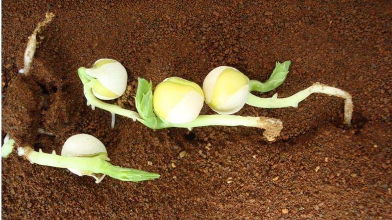 Cultivos en suelo simulado de Marte