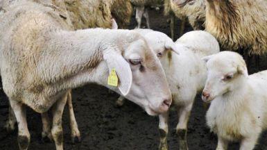 Carne de cordero: mitos y verdades