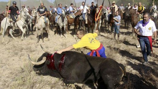 La Junta de Castilla y León le echa valor: prohíbe, por fin, el 'Toro de la Vega'