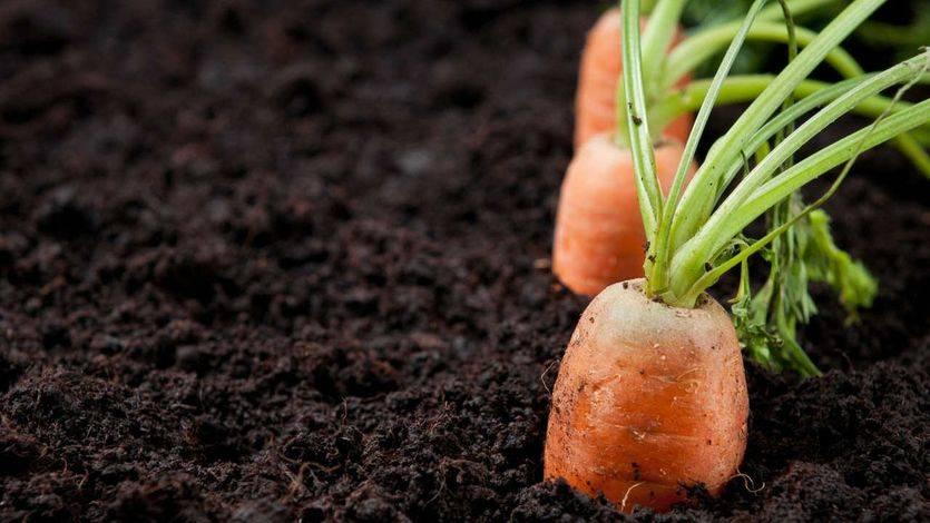 Logra una salud de hierro comiendo zanahorias