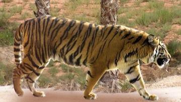 Un tigre mata en un zoo de Benidorm a una trabajadora que quedó atrapada en la jaula