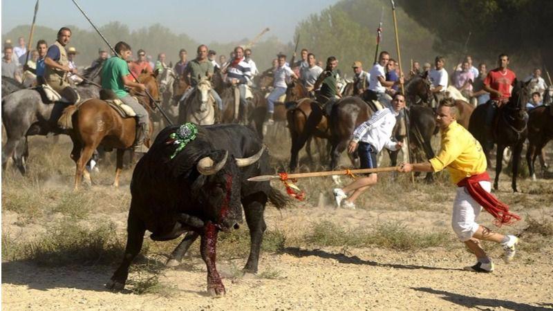 Primer año sin lidia: El 'Toro de la Peña' sustituirá al polémico 'Toro de la Vega' en Tordesillas