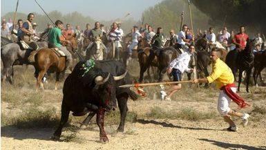 Primer a�o sin lidia: El 'Toro de la Pe�a' sustituir� al pol�mico 'Toro de la Vega' en Tordesillas