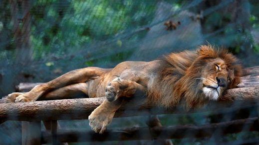 El Gobierno venezolano dice que la noticia de los animales de sus zoos muriendo de hambre es falsa