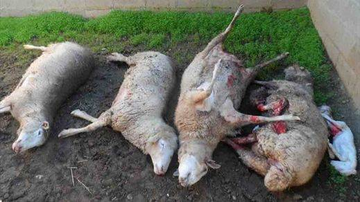 Los ganaderos piden más ayudas por ataques de lobos y denuncian retrasos en los actuales pagos