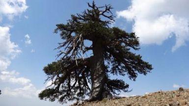 El ser vivo más antiguo de Europa, de 1.075 años, es... el pino Adonis