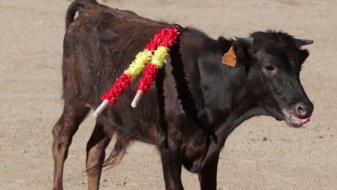 Un vídeo del Partido Animalista sobre la crueldad con un becerro en Valmojado bate récords de vistas