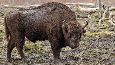 Hallan otro bisonte decapitado en la reserva valenciana