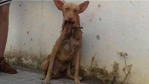 La terrible historia de Spirit: un perro tiroteado que ahora se recupera en un santuario para animales