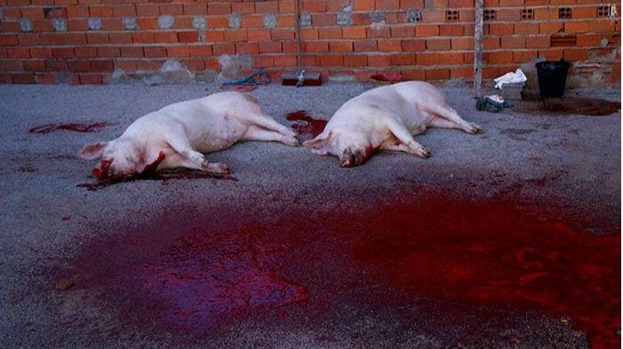 PACMA lanza la campaña #UnaTradiciónCruel #NoEsUnaFiesta, que documenta muchas matanzas ilegales del cerdo