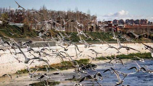 La vida vuelve al río Manzanares a su paso por Madrid