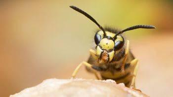 Qué hacer tras recibir picaduras de abeja o una avispa: diferencias