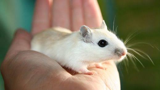 Científicos de EEUU logran curar por primera vez un caso de sida en ratones