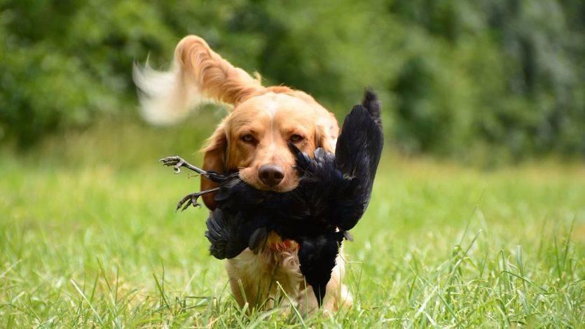 El PP intentará desde el Senado que se pueda seguir amputando el rabo a los perros
