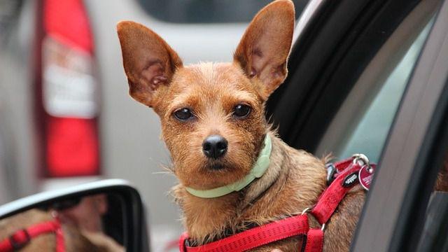 Claves para que nuestras mascotas viajen seguras en el coche
