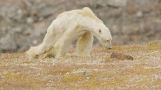 La imagen desgarradora del cambio climático: el oso polar famélico buscando comida