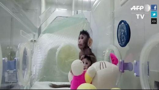 Los 'sucesores' de la oveja Dolly: nacen los primeros monos clonados