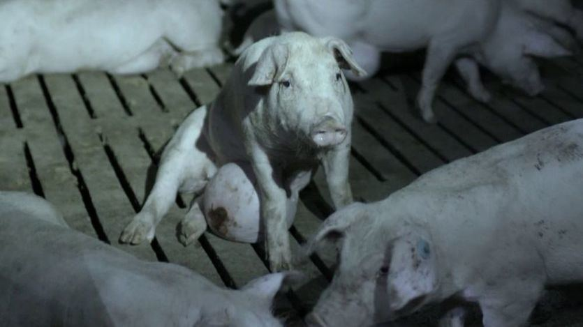El horror real en las granjas de cerdos, destapado por 'Salvados': canibalismo, malformaciones...
