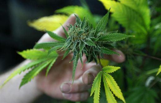 Absueltos los miembros de un club de cannabis porque quizás no sabían que estaban infringiendo la ley