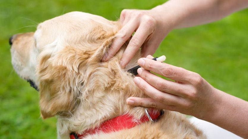 La primavera, a las mascotas altera: muda de pelo y parásitos en perros y gatos