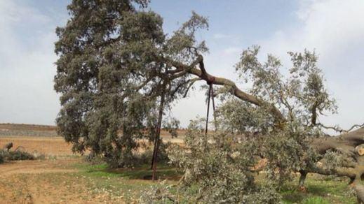 La 'Carrasca Ruli' se convertirá en árbol singular, el primero en la región desde 2011
