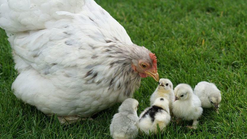 La organización animalista PETA dice que si eres feminista no puedes comer huevos