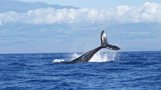 Japón levanta el veto a la caza de ballenas