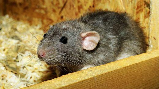 El Hantavirus se transmite a través de la saliva, las heces o la orina de animales infectados, roedores