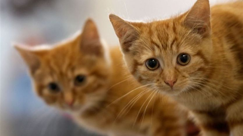 El gato que supuestamente murió por coronavirus en Cataluña: una aclaración importante de los veterinarios