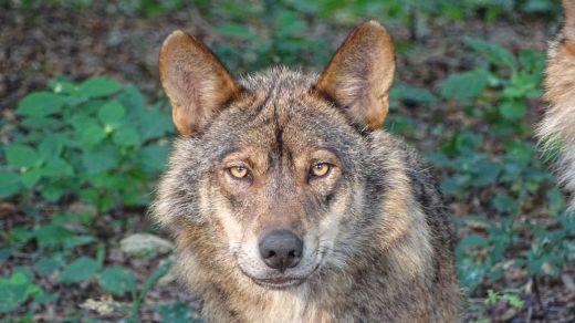Condenados 2 cazadores por matar un lobo ibérico en una cacería