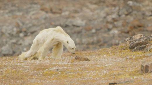El oso polar podría extinguirse en 2100