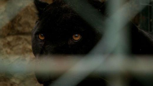 El Seprona tiene ya acotada a la pantera negra suelta en Granada