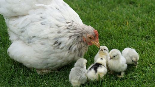 Investigan en la India un extraño brote de gripe aviar