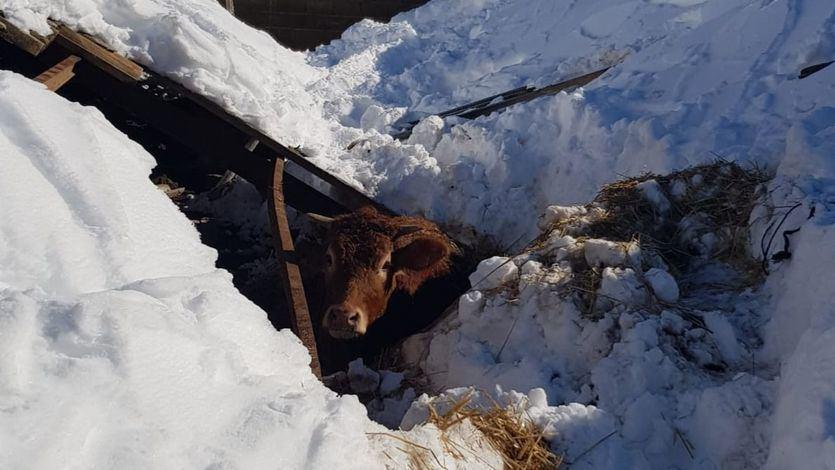 Un ternero atrapado en la nieve tras la borrasca