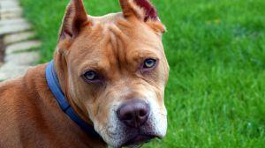 Las razas de perro pitbull, rottweiler, dogo argentino... dejarán de ser consideradas peligrosas