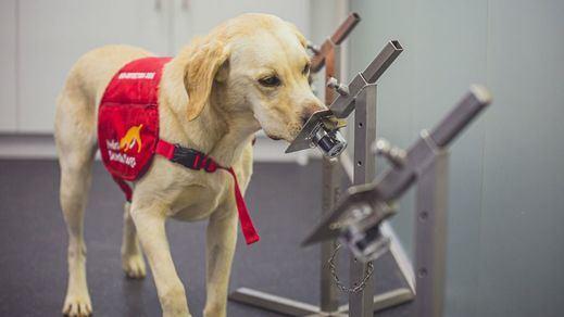 Los perros, casi como una PCR: son capaces de detectar la covid-19 con el 94,3% de efectividad