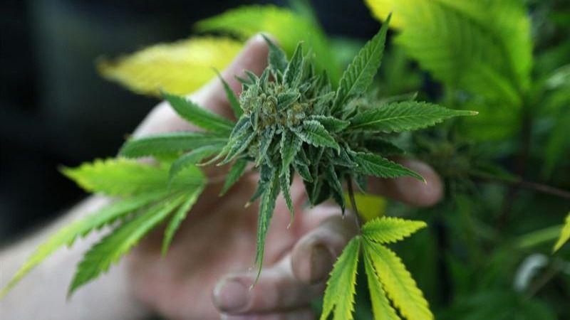 El Congreso estudiará la regulación del cannabis para uso medicinal