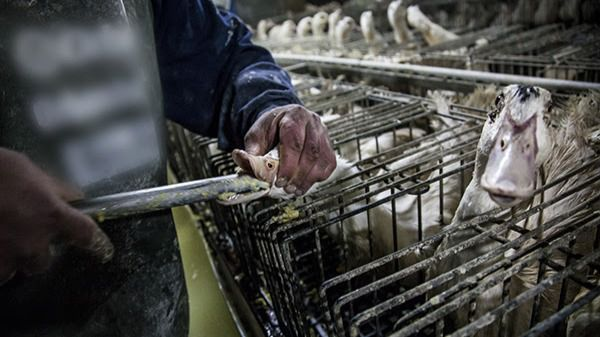 ¿Adiós al foie gras?: el Europarlamento prohibirá la alimentación forzada de los patos por maltrato animal