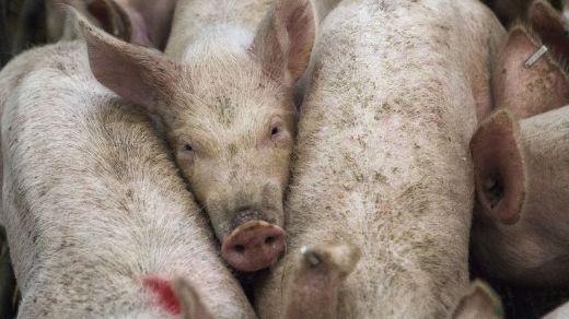 Europa acabará progresivamente con las jaulas en las granjas de animales