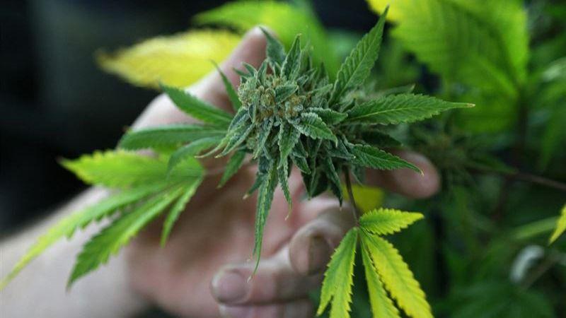Los dirigentes de un club de fumadores de cannabis, condenados por tráfico de drogas