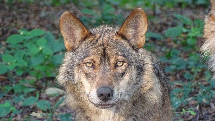 Entra en vigor la orden que prohíbe cazar lobos en todo el país