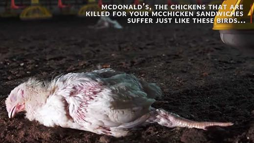 Denuncian la crueldad en la cadena de suministro de carne de pollo de McDonalds