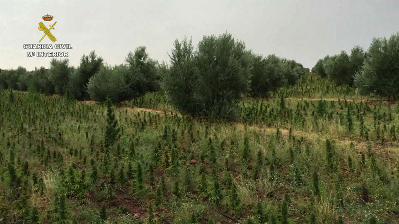 Incautadas en Villarrobledo cinco toneladas de marihuana, la mayor cantidad decomisada en España