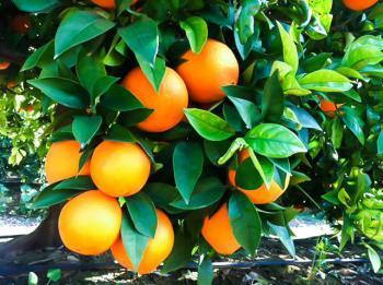 Comprar naranjas online del rbol a tu mesa en muy pocas - Naranjas del arbol a la mesa ...
