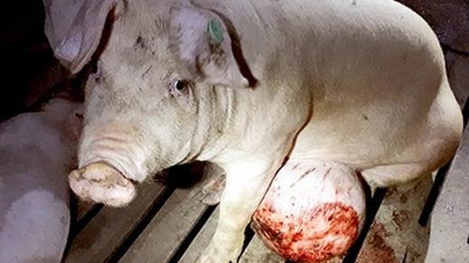 Igualdad Animal difunde las imágenes más duras de los cerdos que ni siquiera 'Salvados' emitió