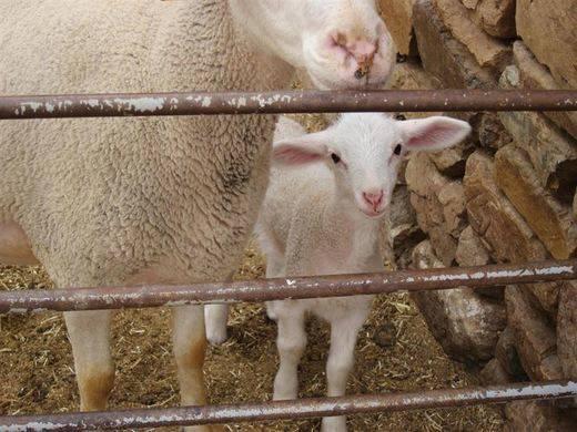 La IGP 'Cordero manchego' llama a la tranquilidad tras el informe de la OMS sobre la carne