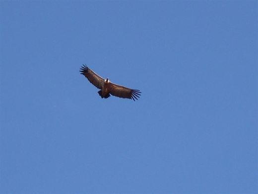 SEO/BirdLife pide fomentar el abandono de reses muertas en el campo para alimentar aves en riesgo