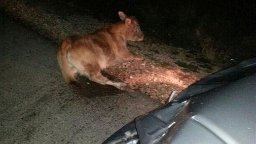 Fallece un motorista tras colisionar con una vaca en la carretera