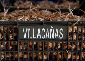 bulbos de azafrán listos para ser plantados